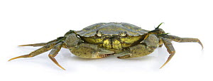 Shore Crab (Carcinus maenas) captive, UK  -  Mark Taylor