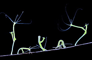 Green Hydra (Hydra viridis) walking. Digital Composite showing five movement stages. UK  -  Kim Taylor