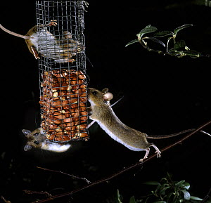 Yellow-necked Mice (Apodemus flavicollis) feeding on peanut bird feeder at night. Surrey, UK  -  Kim Taylor