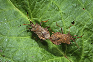 Dock Squash Bug (Coreus marginatus) mating pair on Dock leaf. Surrey, UK  -  Kim Taylor