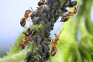 Garden Black Ant (Lasius niger) workers tending a Black aphid colony on Comfrey stem. Surrey, UK  -  Kim Taylor