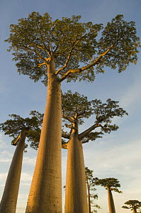 Baobab trees {Adansonia grandidieri} Morondava, Western Madagascar, on location for BBC Planet Earth 'Forests'  -  Warwick Sloss