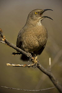 Curve-billed Thrasher (Toxostoma curvirostre) calling, Arizona, USA  -  John Cancalosi