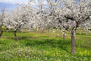Orchard of Almond trees (Prunus dulcis / Amygdalus communis) in blossom, Spain  -  Jose B. Ruiz