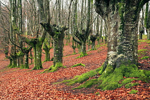Late autumn in a woodland of pollarded Beech trees in Durango, Basque Country, Spain  -  Jose B. Ruiz