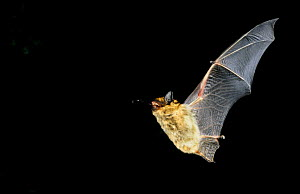 Fringed myotis bat {Myotis thysanodes} flying at night, preying on an insect, Arizona, USA  -  Barry Mansell