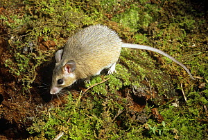 Spiny egyptian  mouse {Acomys dimiditus} captive, from Egypt  -  Barry Mansell