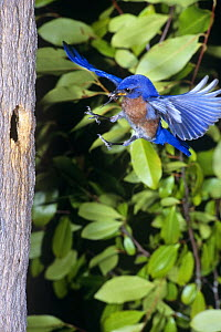 Eastern bluebird {Sialia sialis} male flying to nest hole with prey, Florida, USA - Barry Mansell
