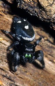 Jumping spider {Phidippus audax} Florida, USA  -  Barry Mansell