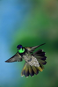Magnificent hummingbird {Eugenes fulgens} flying, Arizona, USA  -  Barry Mansell