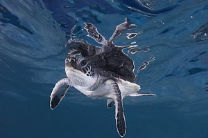 Green sea turtle (Chelonia mydas) hatchling swimming, Endangered, Caribbean, captive, digitally enhanced  -  Doug Perrine