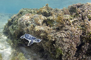 Australian flatback sea turtle (Natator depressus) hatchling swimming past coral reef out to sea from nesting beach, Torres Strait, Queensland, Australia, captive release programme  -  Doug Perrine