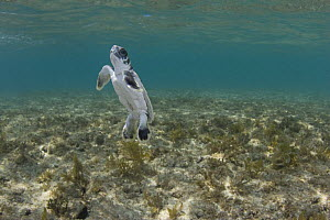 Australian flatback sea turtle hatchling (Natator depressus) rises for a breath of air while swimming across shallow reef out to sea from nesting beach, Torres Strait, Queensland, Australia, captive r...  -  Doug Perrine