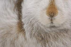 Mountain hare {Lepus timidus} Close up deatil of nose and fur, winter coat, Monadhliath Mountains, Scotland, UK  -  Andrew Parkinson