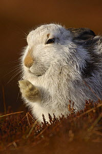 Mountain hare {Lepus timidus} grooming, winter coat, Monadhliath Mountains, Scotland, UK  -  Andrew Parkinson