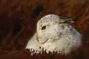 Mountain hare {Lepus timidus} grooming on moorland, winter coat, Monadhliath Mountains, Scotland, UK  -  Andrew Parkinson