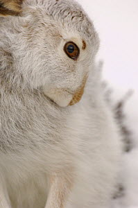 Mountain hare {Lepus timidus} grooming in snow, winter coat, Monadhliath Mountains, Scotland, UK  -  Andrew Parkinson