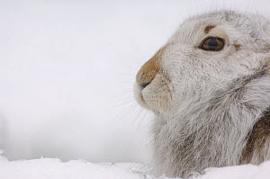 Mountain hare {Lepus timidus} adult on snow in winter coat. Monadhliath Mountains, Scotland, UK  -  Andrew Parkinson