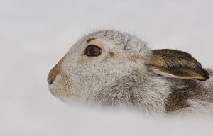 Mountain hare {Lepus timidus} adult in snow, coat changing from summer brown to winter white, Monadhliath Mountains, Scotland, UK  -  Andrew Parkinson