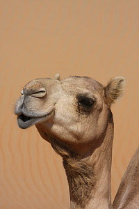 Dromedary / Arabian camel {Camelus dromedarius} in sand desert, close-up of head, Liwa, United Arab Emirates, UAE  -  Hanne & Jens Eriksen