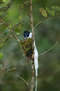 Asiatic paradise flycatcher {Terpsiphone paradisi} male feeding chick in nest, Tanjung Puting NP, Kalimantan, Borneo, Indonesia.  -  Hanne & Jens Eriksen