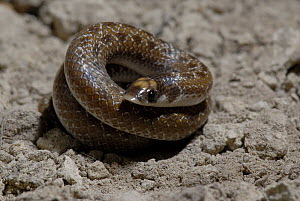 Sundevall's shovel-snout Snake (Prosyma sundevalli) tightly coiled, Western Cape, South Africa. - Tony Phelps