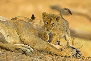 African lion {Panthera leo} two month old cub stepping over legs of sleeping lioneess, South Luangwa NP, Zambia  -  TJ Rich