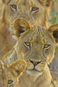 African lion {Panthera leo} pride on alert, South Luangwa NP, Zambia  -  TJ Rich