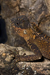 Female Mountain Horned Dragon (Acanthosaura crucigera) captive, from South East Asia  -  Rod Williams