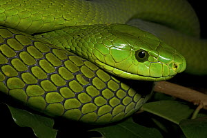 Eastern Green Mamba (Dendroaspis angusticeps) captive, from Sub-Saharan Africa  -  Rod Williams