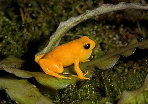 Golden Mantella frog (Mantella aurantiaca) male vocalising, captive, from Madagascar, Vulnerable Species  -  Rod Williams