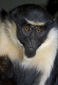 Juvenile Diana Monkey (Cercopithecus diana) captive, from Sierra Leone to Ghana, Vulnerable  -  Rod Williams