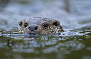 Otter {Lutra lutra} adult male swimming in river, UK, captive - Paul Hobson