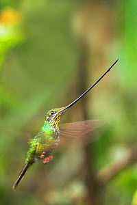 RF- Sword-billed Hummingbird (Ensifera ensifera) flying, Yanacocha montane forest, Ecuador. (This image may be licensed either as rights managed or royalty free.)  -  Nick Garbutt