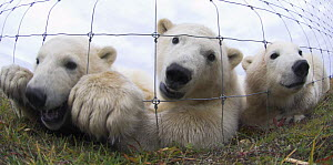 Polar Bear Cubs (7-8 months) (Ursus maritimus) investigating photographer through wire fence. Lodge on the shores of Hudson Bay, Canada (Sept).  -  Nick Garbutt