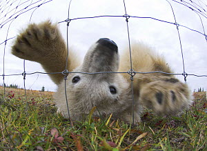 Polar Bear Cub (7-8 months) (Ursus maritimus) investigating photographer through wire fence. Lodge on the shores of Hudson Bay, Canada (Sept).  -  Nick Garbutt