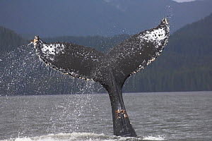 RF- Humpback Whale (Megaptera novaeangliae) waving and slapping its flukes (tail) in water. off Princess Royal Island, Great Bear Rainforest, British Columbia, Canada. (This image may be licensed eith...  -  Nick Garbutt