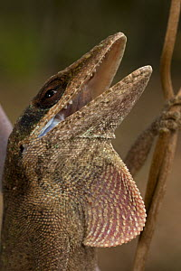 Green Anole (Anolis carolinensis) defensive posture with mouth open and dewlap extended, Louisiana, USA  -  John Cancalosi