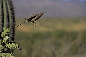 Curve-billed Thrasher (Toxostoma curvirostre) flying, Arizona  -  John Cancalosi