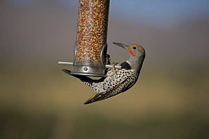 Northern Flicker (Colaptes auratus) feeding from seed feeder, Sonoran Desert, Arizona, USA  -  John Cancalosi