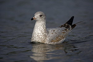 Ring-billed Gull (Larus delawarensis) juvenile on water, New York, USA - John Cancalosi