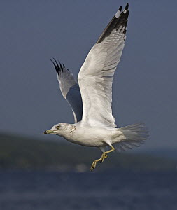 Ring-billed Gull (Larus delawarensis) adult flying, New York, USA - John Cancalosi