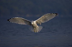 Ring-billed Gull (Larus delawarensis) adult flying over lake, New York, USA - John Cancalosi