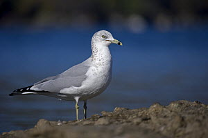Ring-billed Gull (Larus delawarensis) adult, New York, USA - John Cancalosi