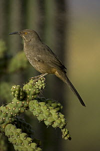 Curve-billed Thrasher (Toxostoma curvirostre) Perched on cholla cactus, Arizona, USA  -  John Cancalosi