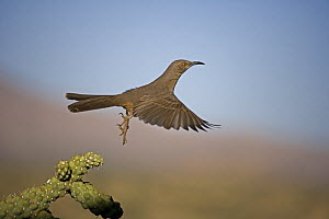 Curve-billed Thrasher (Toxostoma curvirostre) flying, Arizona, USA  -  John Cancalosi