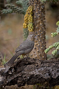 Brown Towhee (Pyrgisoma fuscum) Arizona, USA  -  John Cancalosi