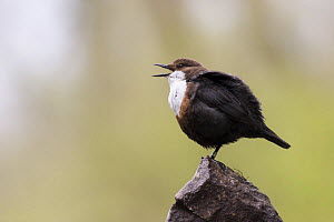 Dipper (Cinclus cinclus), yawning / gaping with nictitating membrane over eye, Derbyshire, UK - Michael Hutchinson