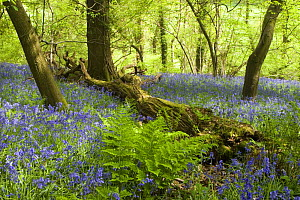 Bluebells (Hyacinthoides non-scripta) carpeting floor of deciduous woodland with fern in foreground, North Somerset, UK - Michael Hutchinson