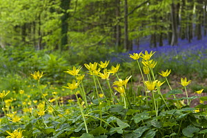 Lesser Celandine (Ranunculus ficaria) in deciduous woodland clearing with Bluebells and stand of Beech trees in background, april, North Somerset, UK  -  Michael Hutchinson